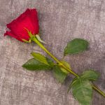 single red rose gift